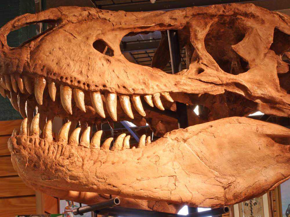 Sherman the T-Rex skull